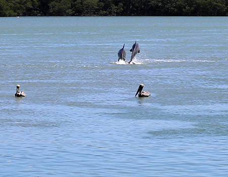 Dolphin pair playing at Gilbert's Resort, Key Largo